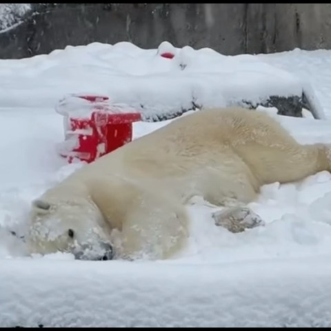 oso polar disfruta la nevada en texas video viral