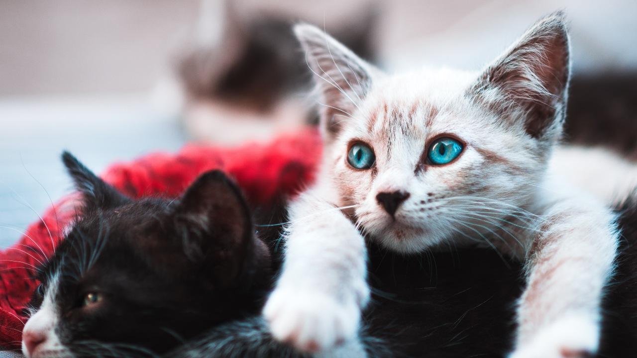 razones para esterilizar a mi gato