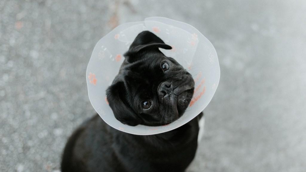 cuando deberia esterilizar a mi perro