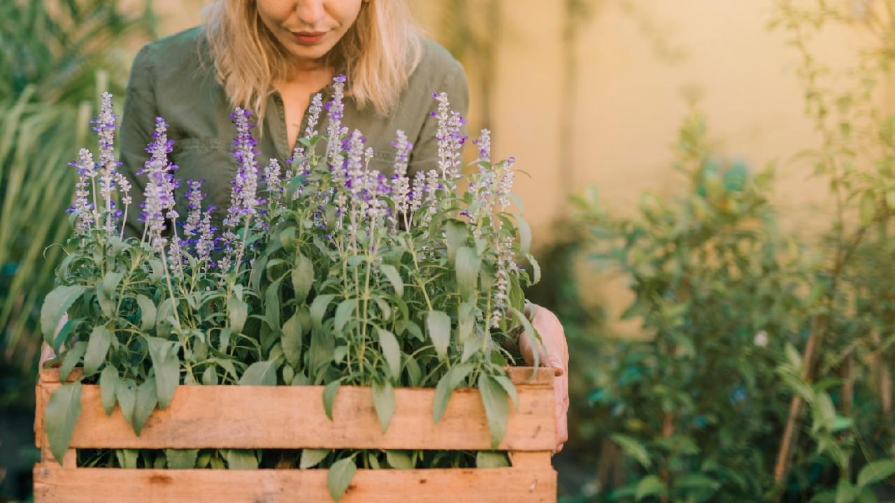 Lavendel Pflanze Blumen Zutat Gartenarbeit