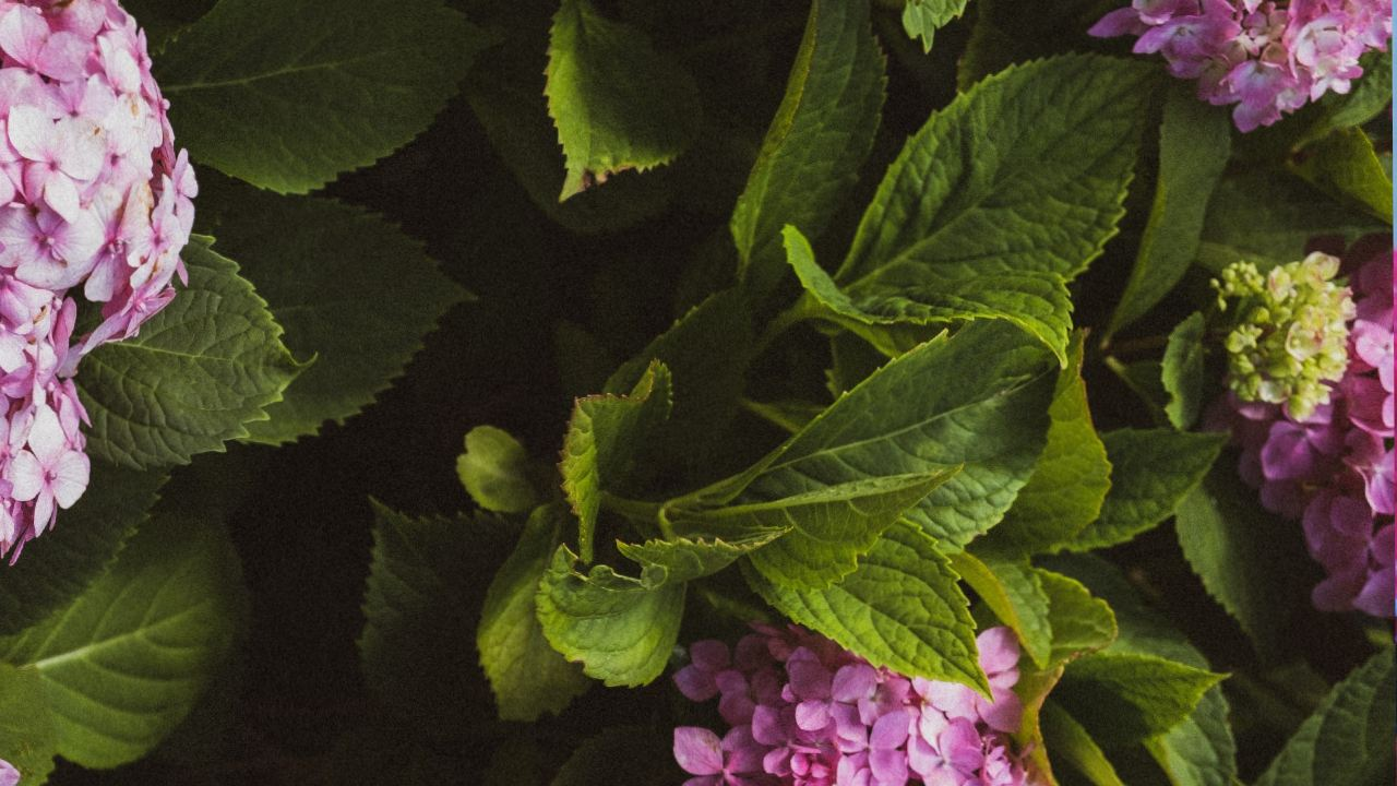 como cuidar hortensias jardinería