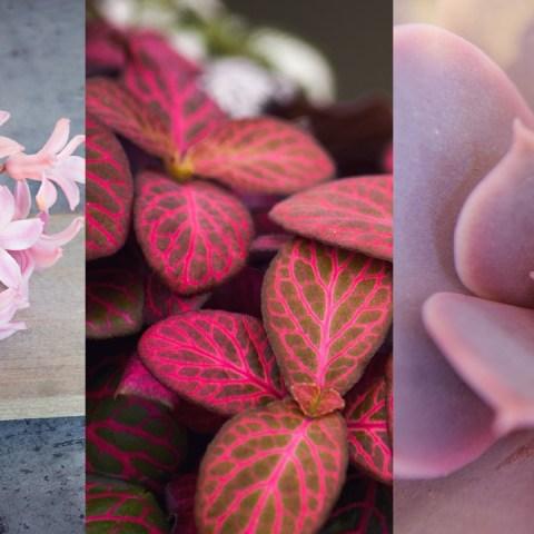 plantas color rosa para tener en casa