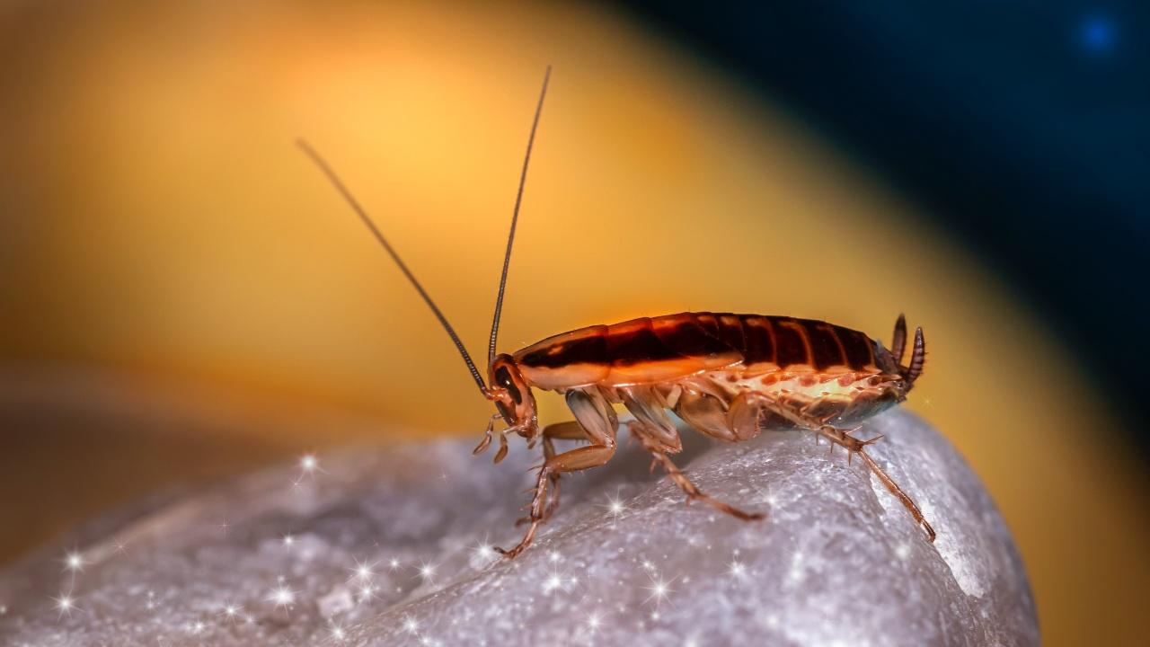 como eliminar cucarachas con remedios caseros