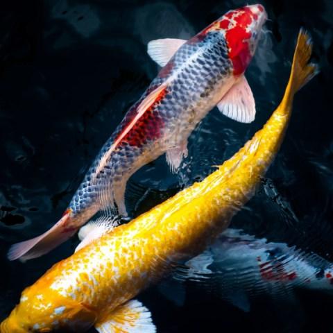 por qué los peces koi son tan caros
