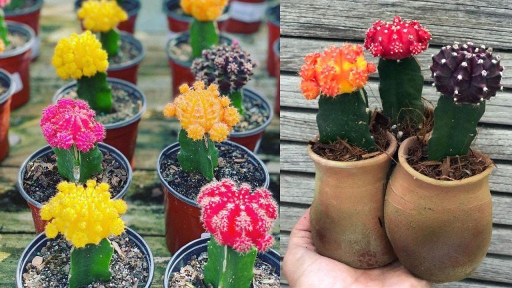 cactus injertados qué son cuáles son sus cuidados plantas especies suculentas