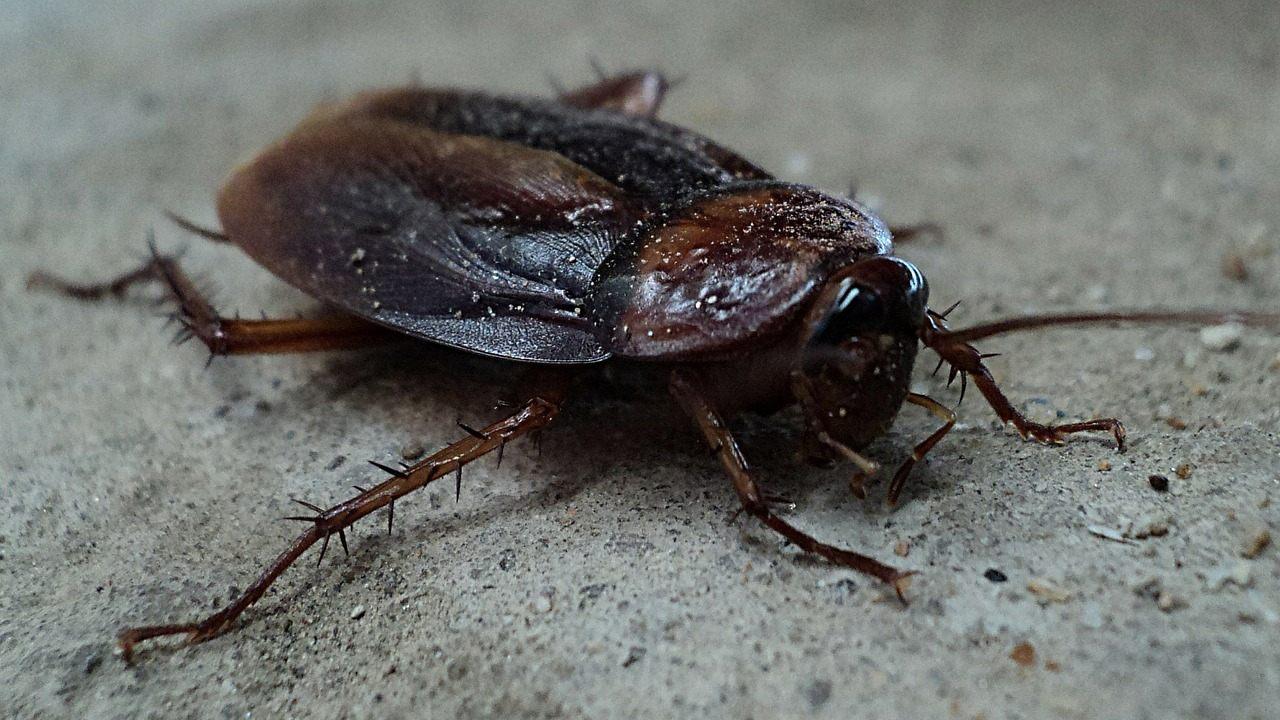 indicios de plaga de cucarachas