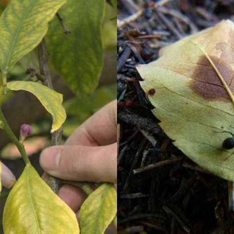 Cómo eliminar plagas de un árbol de limón remedios caseros