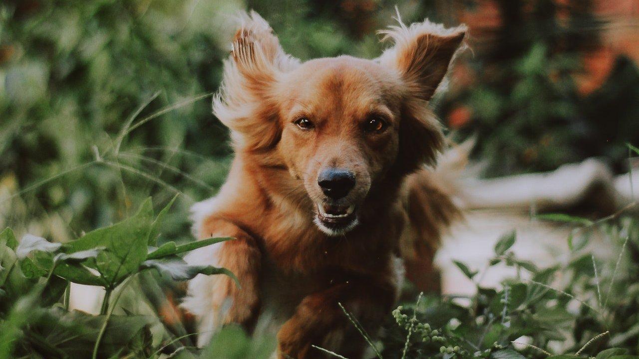 Por que mi perro empieza a correr de la nada vestigio prehistórico