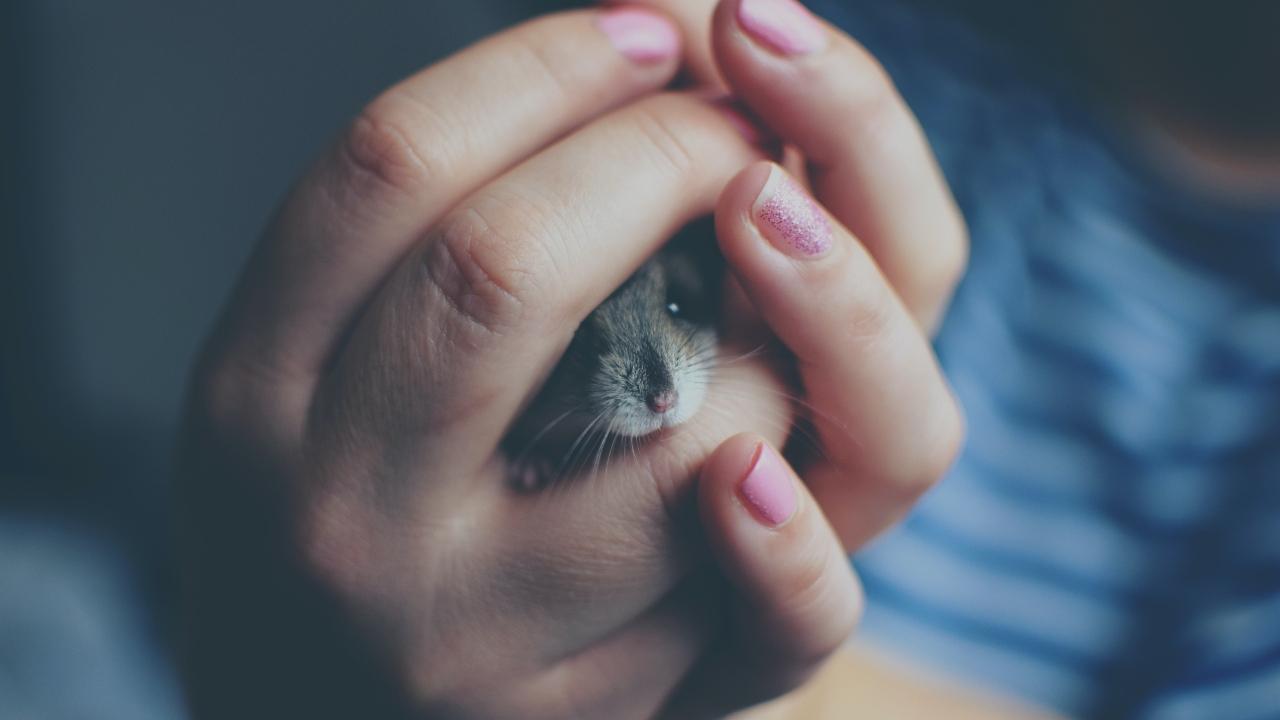 como cuidar a hamster