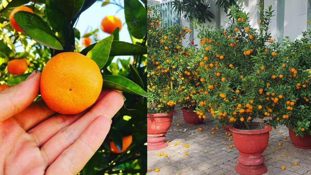 como cultivar árbol de mandarina en macetaa