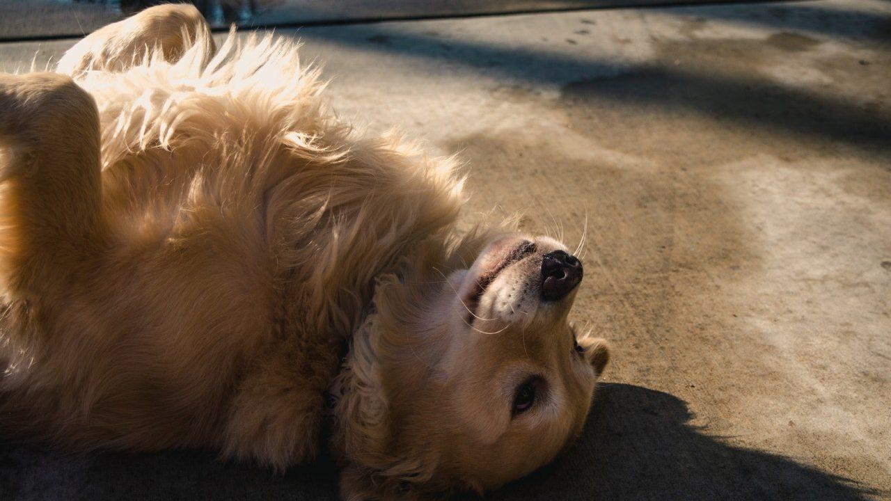 perros golden retriever tienden a la obesidad
