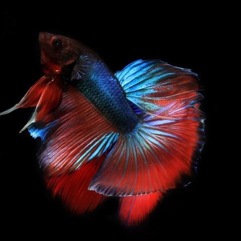 con que otros peces pueden convivir pez betta