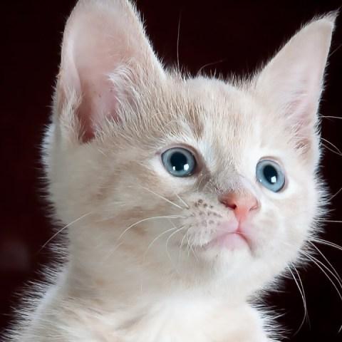razas de gatos blancos y su relacion con sordera
