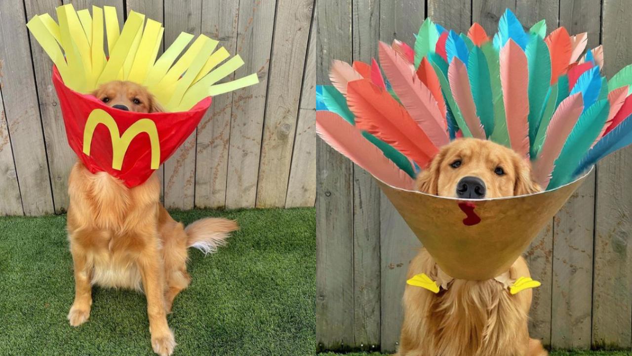 El perro golden que se hizo viral con su cono