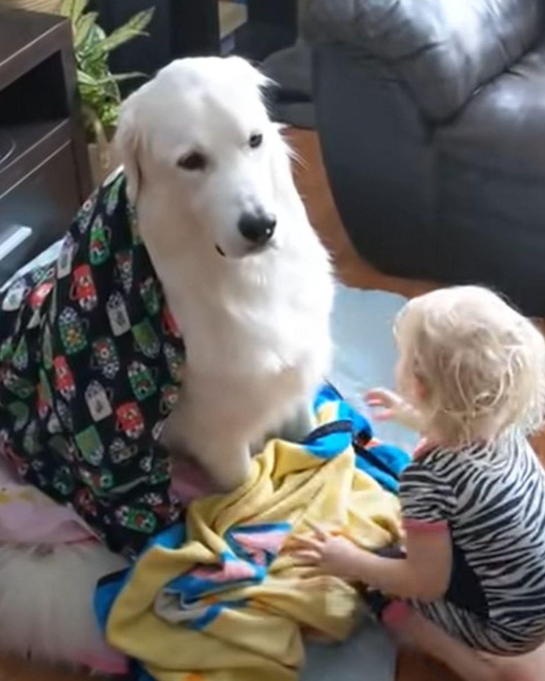 paciente perrito se deja envolver en frazadas