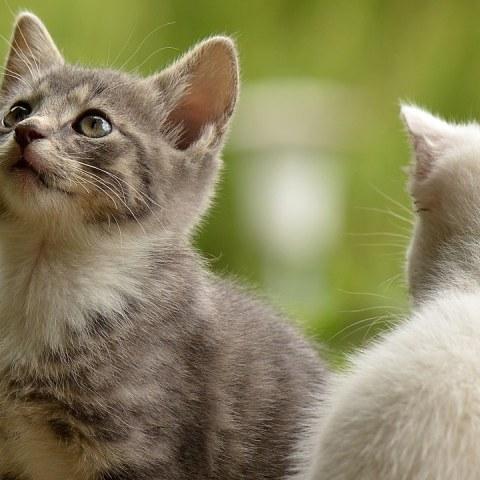personalidad segun razas de gatos