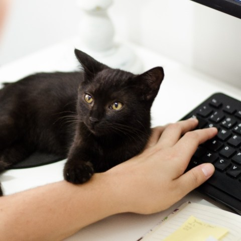 por que mi gato ama sentarse en teclado