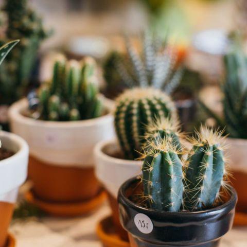 Si quieres llenar tu hogar de cactus y que vivan por siempre sigue este sencillo método