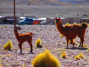 Llamas bolivianas en Uyuni