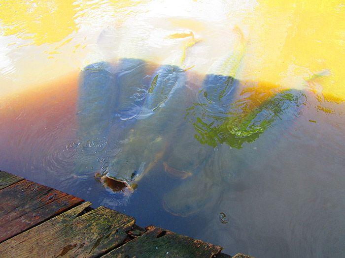 Este pez que veis aquí, es el Paiche, el pez más grande del amazonas