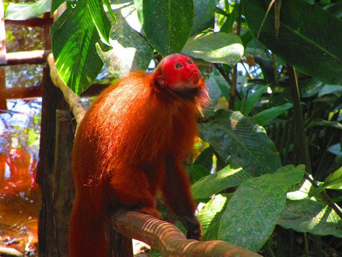 """Los """"monos Huapo Colorado"""" estan sueltos por el mariposario, ¡son más que curiosos!"""
