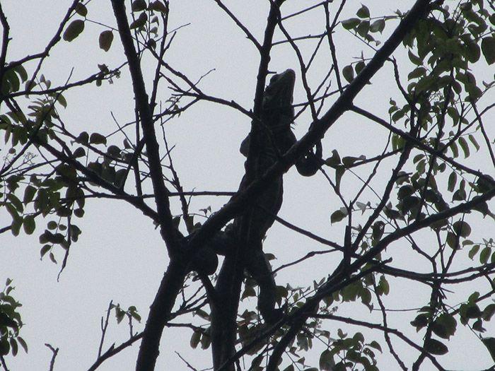Iguana del Amazonas