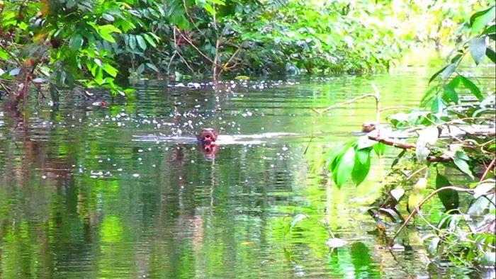 Nutrias en el Amazonas