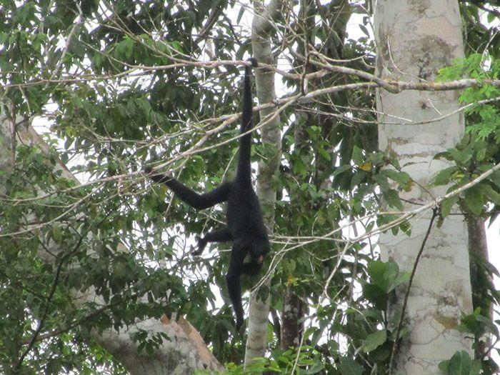 Monos en la selva amazónica