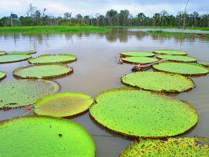 Victoria Regia, Amazonas