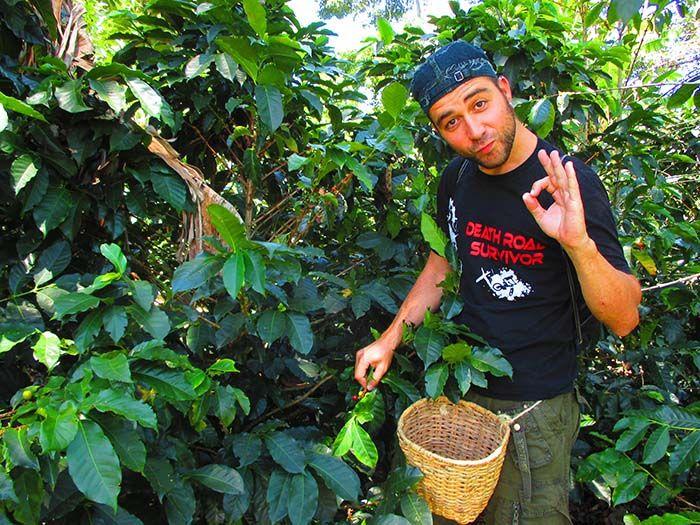 Recogiendo el fruto del café a la antigua escuela. ¡Aquí lo hacen así!
