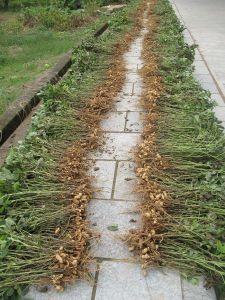 ¿Sabías que los cacahuetes crecen bajo tierra? ¡haz zoom en la foto y lo verás!