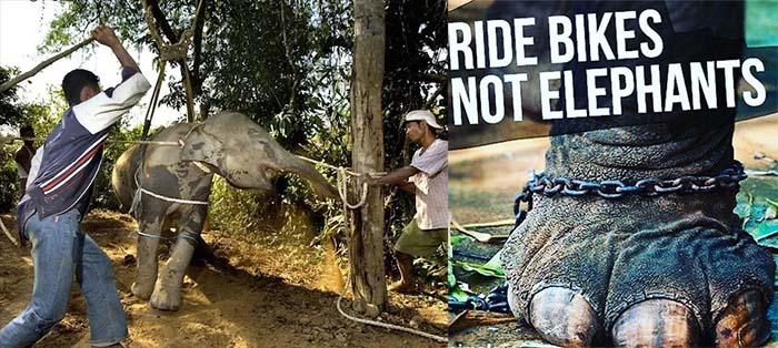 Asi maltratan a los elefantes en Tailandia