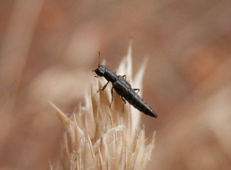 Staphylinidae Stenus