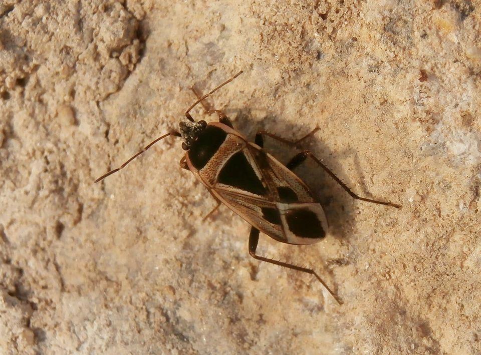 Xanthochilus saturnius (Hemiptera, Lygaeidae, Rhyparochrominae)