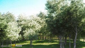 Eucalyptus Albens - Eucalyptus White Box