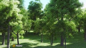 Quercus - Oak Tree