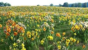 Narcissus - Daffodil Flower