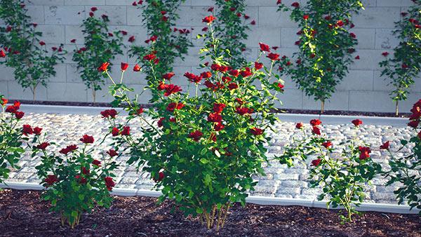 Rose Shrubs - Rosacea