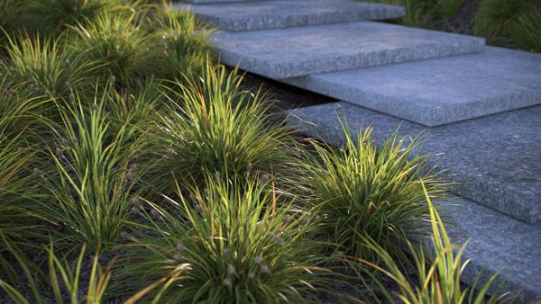Carex Morrowii Variegata - Japanese Sedge Grass