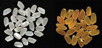 Gạo thường (trái) và gạo biến đổi gien có nhiều vitamin A nên có màu vàng đậm (phải)