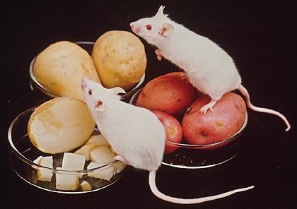 Khoai tây biến đổi gien được thí nghiệm trên chuột