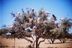 Goats1_182904