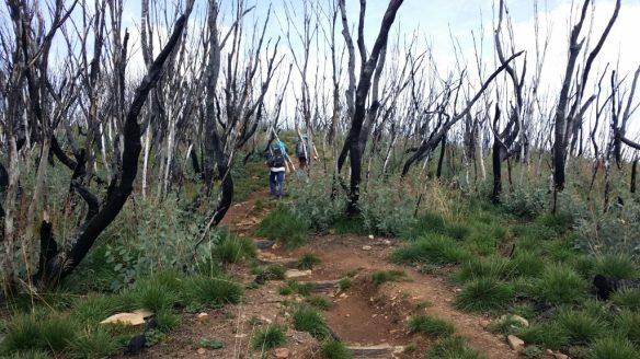 On the Razorback track through areas burnt in the 2013 bushfires - re-growth is occurring, but still lots of black trees everywhere