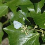 boomblauwtje op klimop