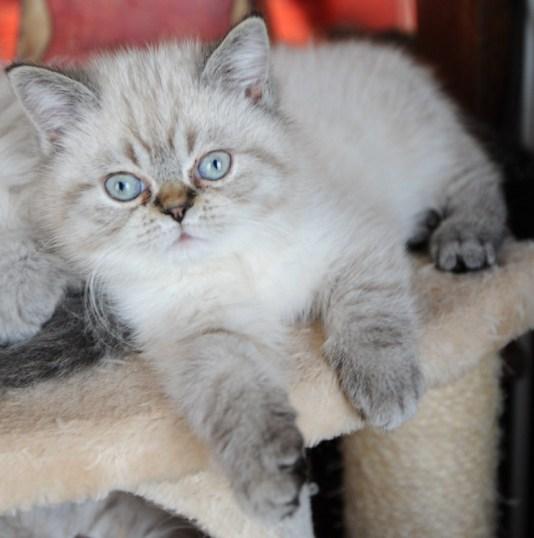 kittens Dushinka x Pedro (18)