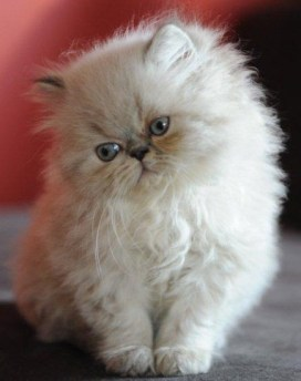 kittens Dushinka x Pedro (3)