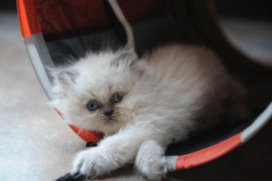 kittens Isaura x Pedro (4)