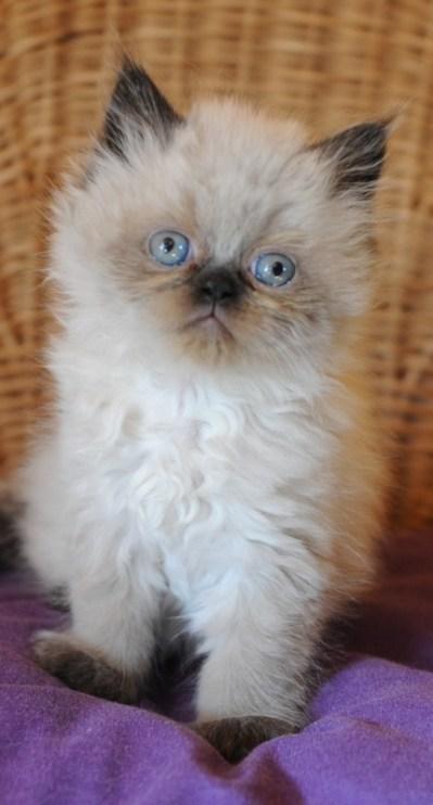 kittens Isaura x Pedro (5)