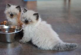 kittens Isaura x Pedro(16)