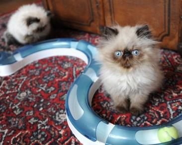 kittens Manja x Pedro(1)
